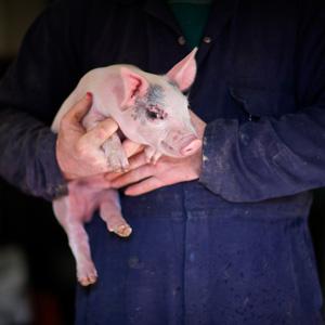 Quality Farm Assured pigs
